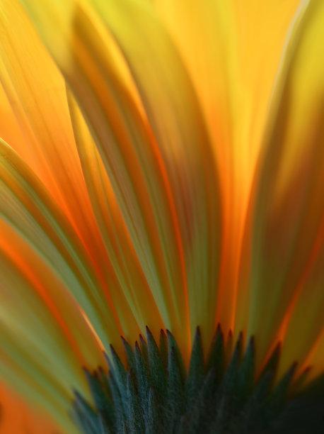 非洲雏菊色彩鲜艳黄色