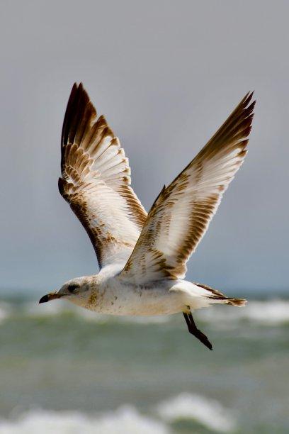 海鸥动物主题图片