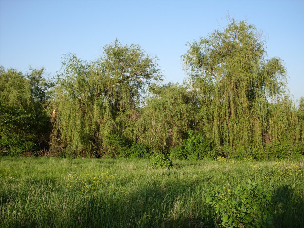 绿色沼泽热