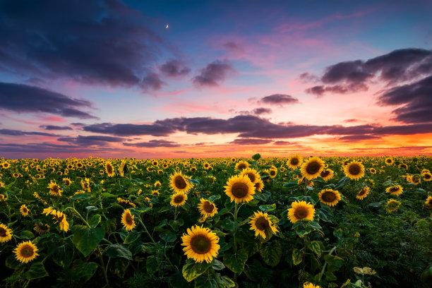 田地背景向日葵
