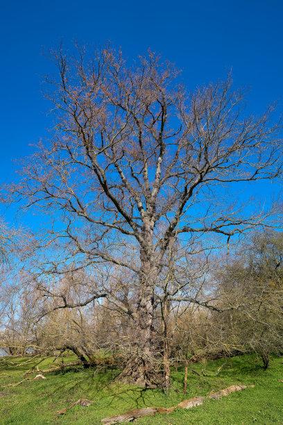 公园春天榆树