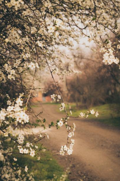 花朵乡村杏树
