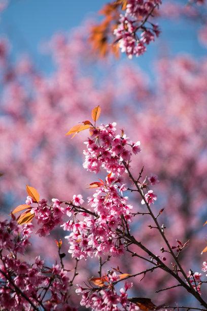 樱花粉色樱之花