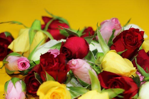 玫瑰多色的与众不同