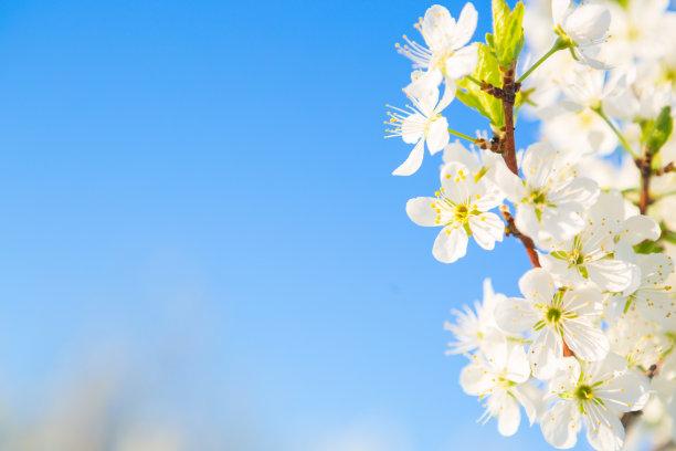 公园春天樱花