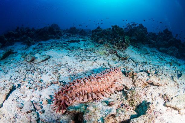 礁石海参巨大的