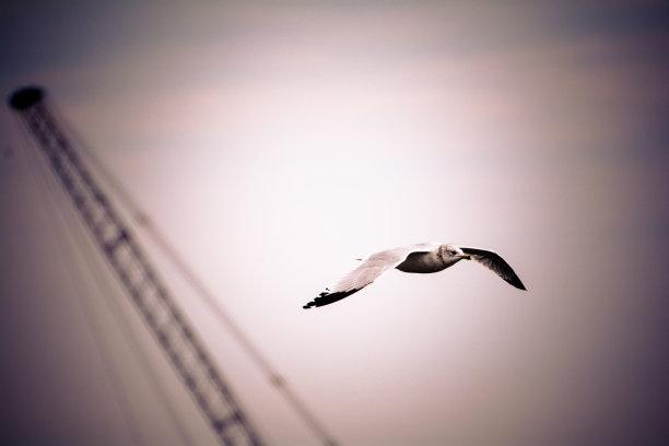 黑白图片海鸥图片