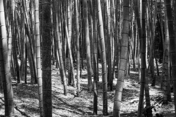 竹林单色调黑白图片