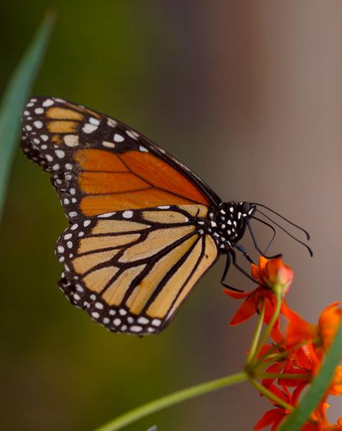 蝴蝶特写图片