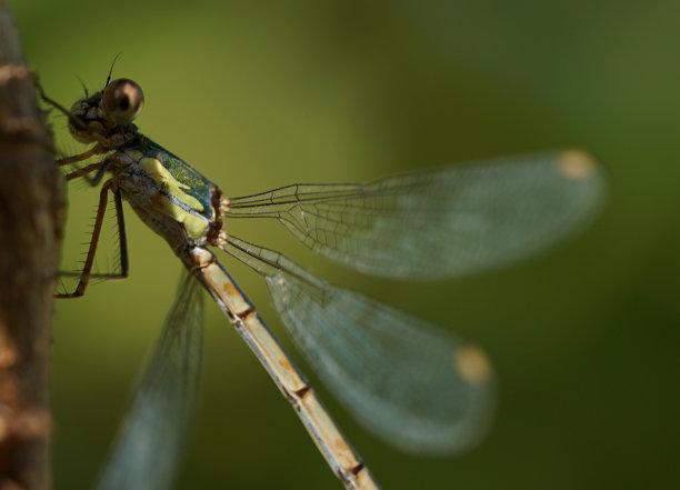 蜻蜓特写图片