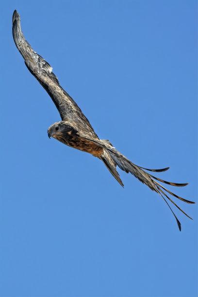鹰小的图片