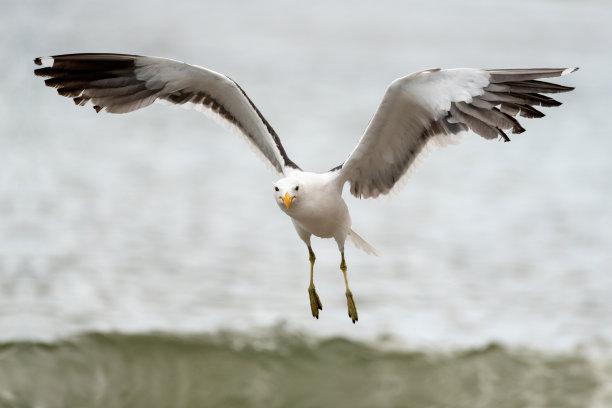 海鸥特写图片