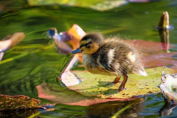 小鸭子可爱的图片