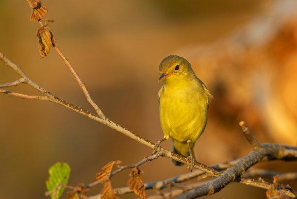 鸣鸟可爱的图片
