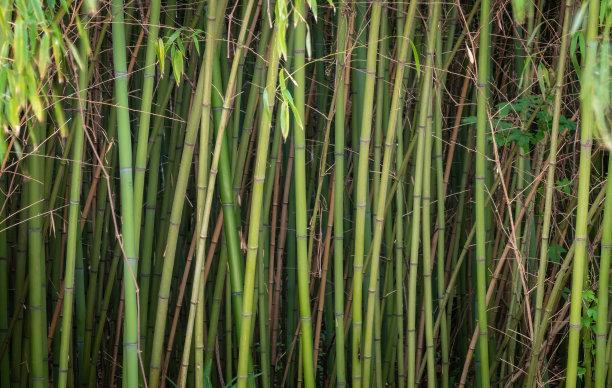 竹厚的枝繁叶茂