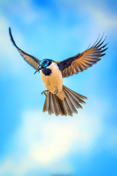蓝色食蜜鸟图片