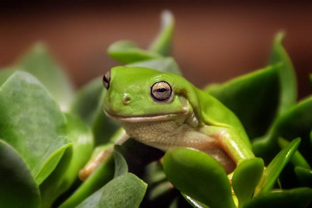 绿树蛙热带气候图片