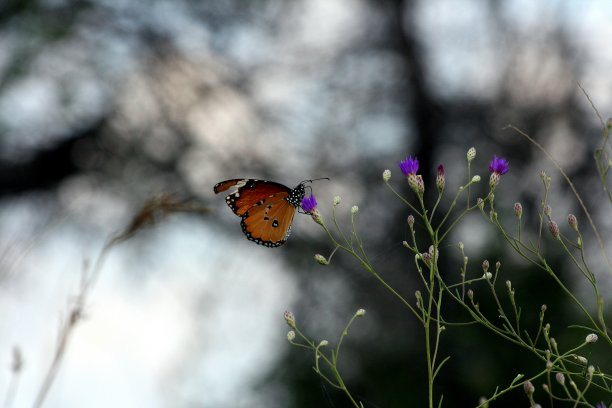 蝴蝶南非图片