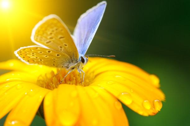 蝴蝶自然美杂色菊属