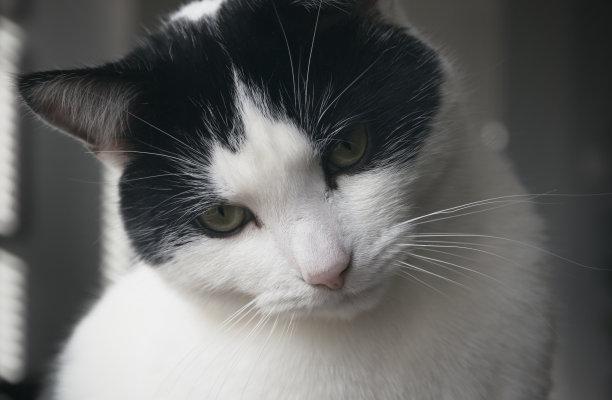 看迷惑黑白猫