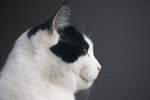 黑白猫侧面像背景分离