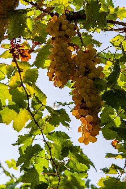 新疆吐鲁番市葡萄沟里葡萄架上的葡萄