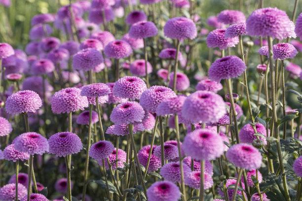 济南市平阴县上盆王村菊花种植基地内的菊花盛开