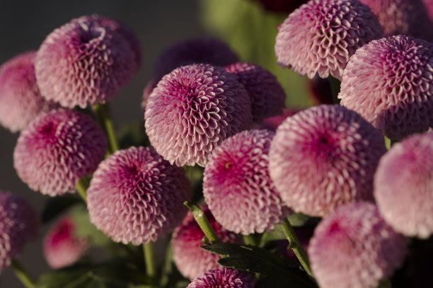 济南市平阴县上盆王村菊花种植基地内的菊花迎风傲霜开放。
