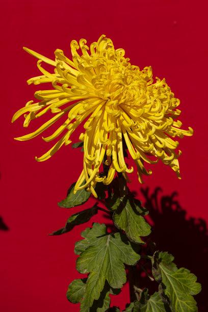 红色背景下的黄色菊花