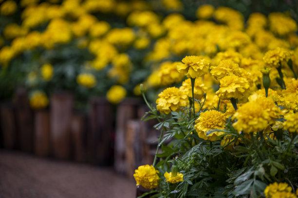公园里盛开的菊花