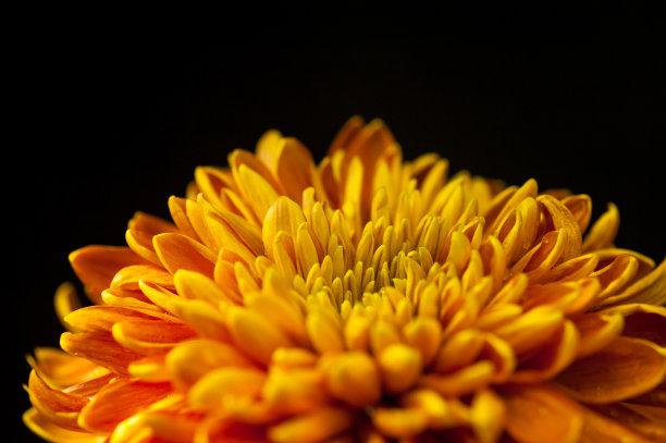 菊花黄色花簇