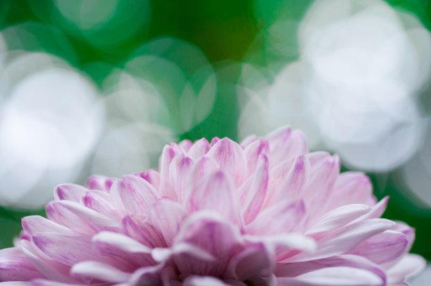 粉色绿色背景菊花