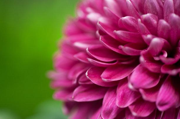紫色菊花绿色背景