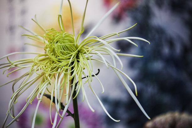 菊花中国花簇