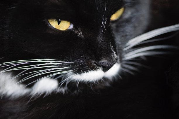 黑白猫大特写可爱的