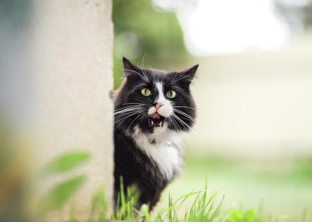 户外黑白猫可爱的